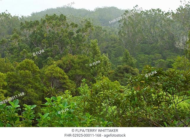 Kauri Agathis australis forest habitat, Waipoua Forest, Northland, North Island, New Zealand