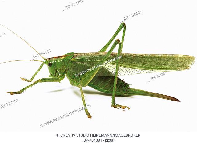Great Green Bush-cricket, Katydid or Long-Horned Grasshopper (Tettigonia viridissima)