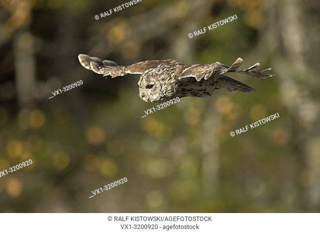 Tawny Owl (Strix aluco) on its silent flight in front of autumnal coloured birch bushes.