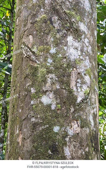 Paripiballi Chrysophyllum argenteum close-up of trunk, Iwokrama Rainforest, Guiana Shield, Guyana, october