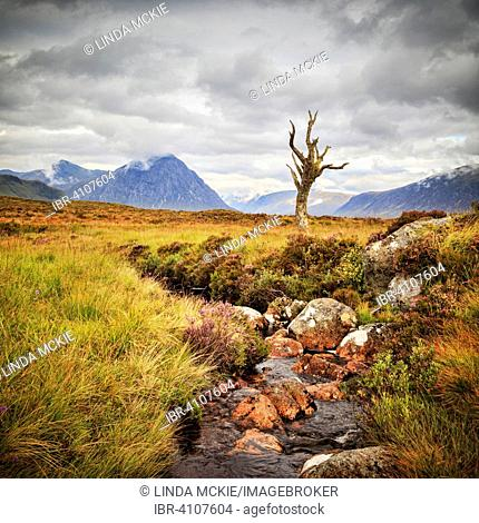 A lone tree, well known to photographers, by a stream with Buachaille Etive Mòr behind, Rannoch Moor, Highland, Scotland, United Kingdom