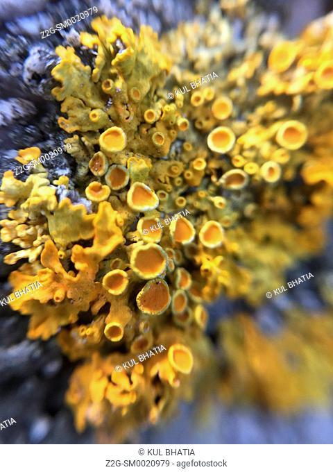 Profusion of yellow lichens growing on deer antlers, Halifax, Nova Scotia, Canada