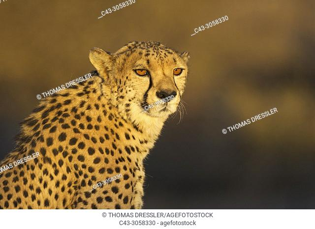 Cheetah (Acinonyx jubatus). Male. In the evening. Photographed in captivity on a farm. Namibia