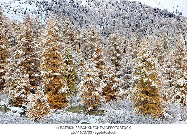 Swiss Alps, lark trees, Switzerland
