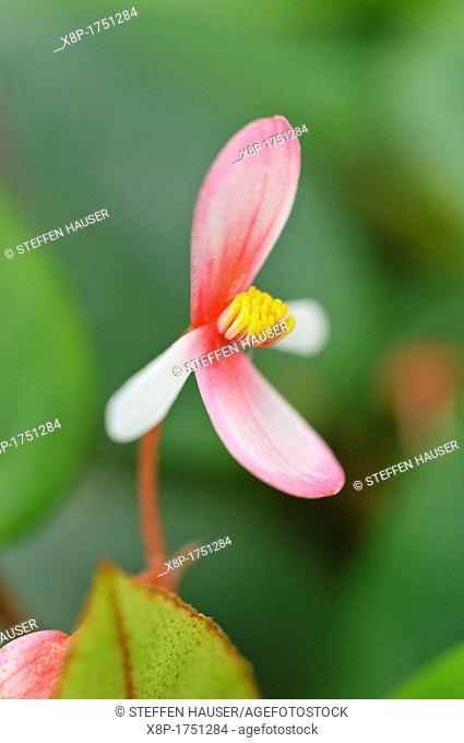 Begonia Begonia eleagnifolia syn  Begonia schulzei