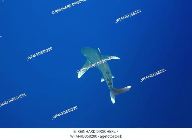 Oceanic Whitetip Shark, Carcharhinus longimanus, Elphinestone Reef, Red Sea, Egypt