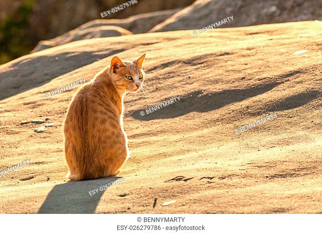Red and white stray cat with green eyes standing on brown rock illuminated by the light of dawn