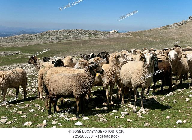 Sheep of the breed Lojeña, Loja mountains, Granada province, Region of Andalusia, Spain, Europe