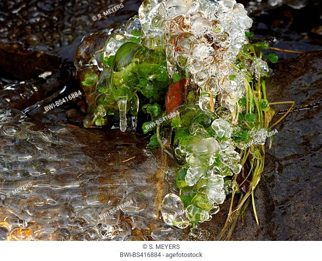 icy plant in brook bed in winter, Germany, Saxony, Erz Mountains, Schwarzwassertal