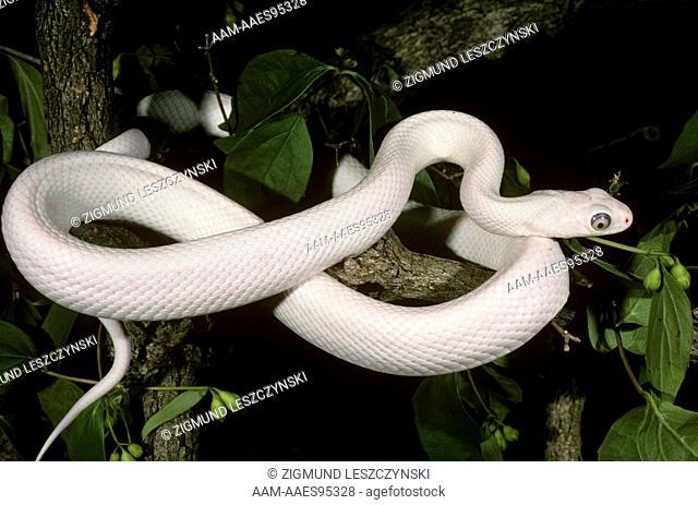 Leucistic Texas Rat Snake (Elaphe obsoleta lindheimeri) absense of all color