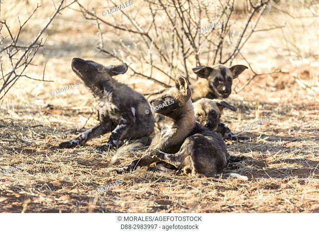 Africa, Southern Africa, South African Republic, Kalahari Desert, African wild dog or African hunting dog or African painted dog (Lycaon pictus), youngs