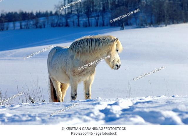 White Icelandic horse standing on his snow covered meadow and looking to the side, standng on a white snowy medow, Lennestadt, Siegerland