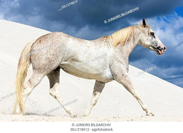 Appaloosa. Mare trotting on kaolin sand. Poland