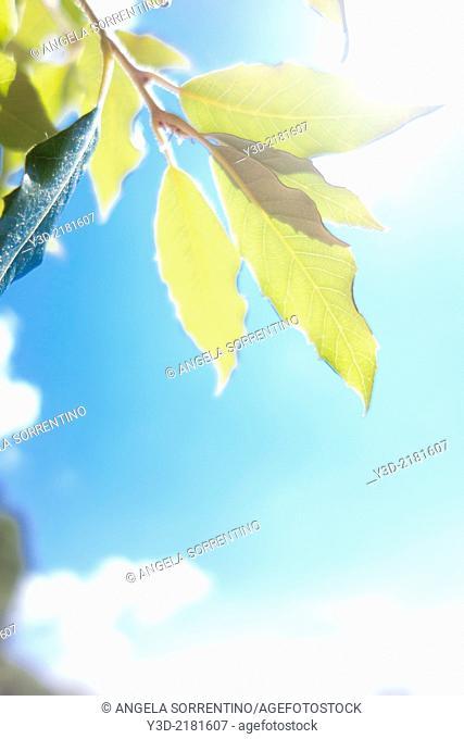 Leaves against sun