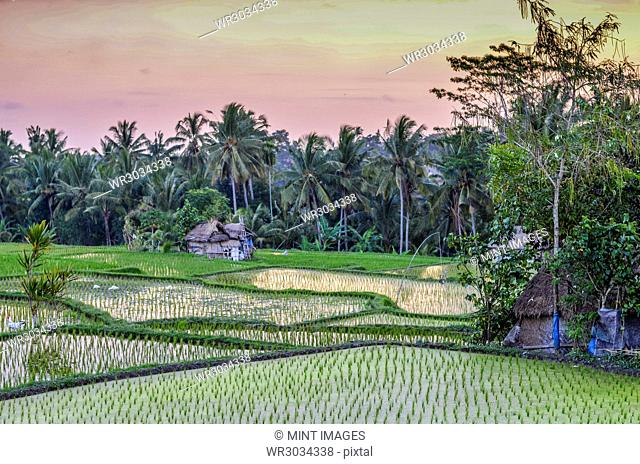 The landscape of paddy fields and dividing mud walls, with small green rice plants growing in shallow water