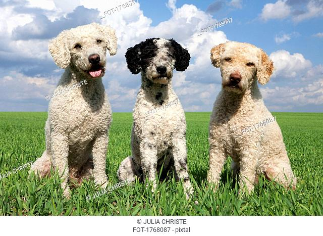 Portrait cute dogs in sunny, rural field