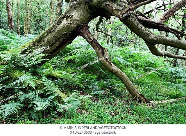 Dead Tree and Bracken in Parker Wood Pateley Bridge North Yorkshire England