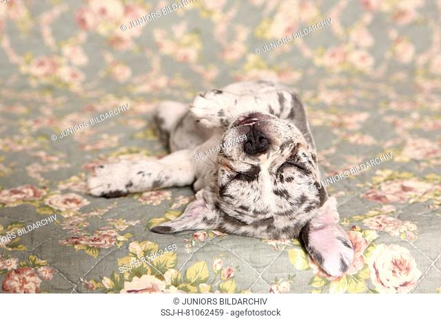 French Bulldog. Puppy (6 weeks old) sleeping on a blanket with rose flower print. Germany