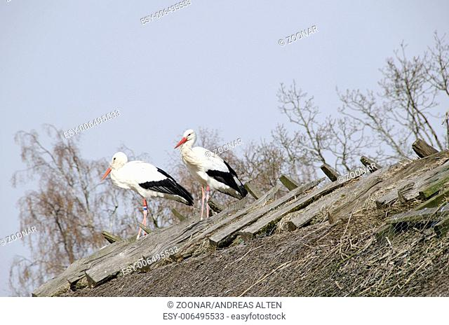 White storks on the nest (Ciconia ciconia)