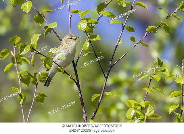 Willow warbler, Phylloscopus trochilus, sitting in a birch tree in spring time, singing with open beak, Gällivare county, Swedish Lapland, Sweden