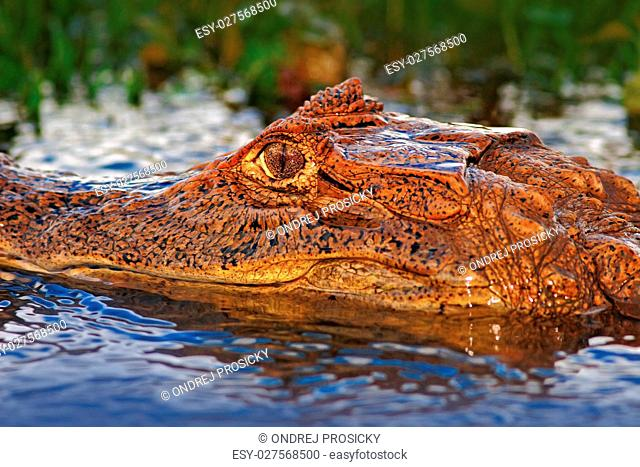 Portrait of Caiman, crocodile in the water with evening sun