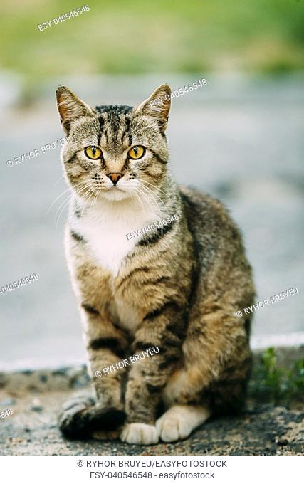 Gray And White Mixed Breed Short-Haired Domestic Young Cat, Sitting Outdoor And Looking To Camera