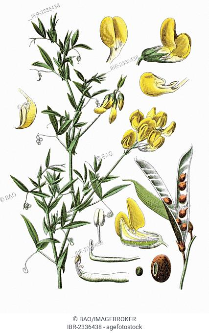 Wiesenerbse Pisum (Pisum pratense), medicinal plant, historical chromolithography, ca. 1796