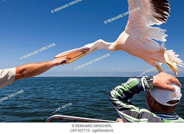 Feeding Great White Pelicans, Pelecanus onocrotalus, Walvis Bay, Namibia