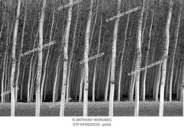 Poplars trees in winter