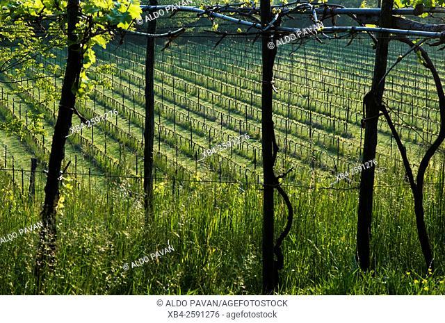 Vineyard, Clusane, Franciacorta wine area, Brescia province, Italy