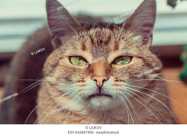 Cat. Portrait of a cat with insolent eyes