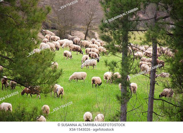 Ovis orientalis aries. Sheeps grazing in the forest. Photo taken in Pinós, Lleida, Catalonia, Spain, Europe