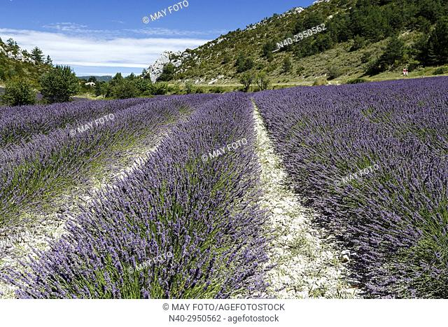 Provence, lavender fields, France, Europe