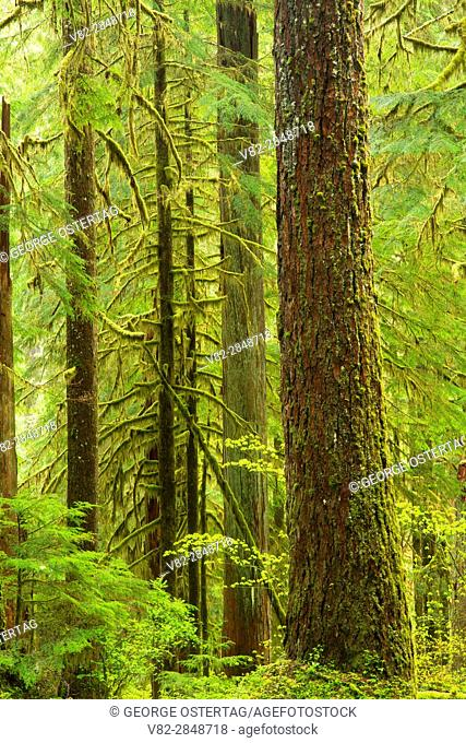 Ancient forest along Opal Creek Trail, Opal Creek Scenic Recreation Area, Willamette National Forest, Oregon
