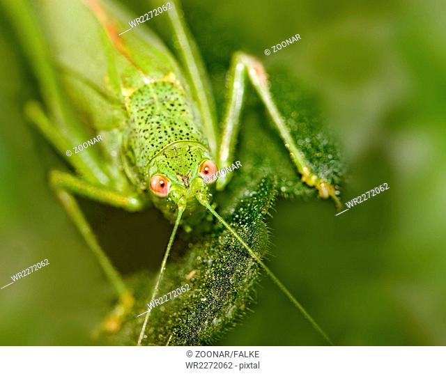 Bush cricket Phaneroptera falcata