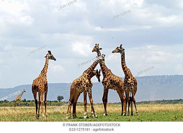 Giraffs
