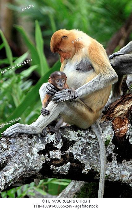 Proboscis Monkey Nasalis larvatus adult female with young, sitting in tree, Labuk Bay, Sabah, Borneo, Malaysia