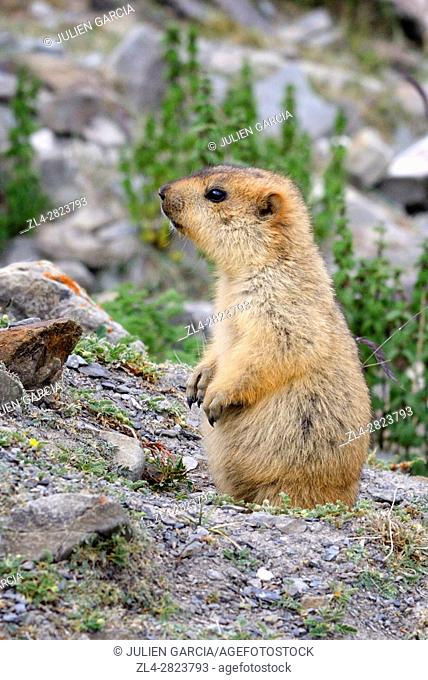India, Jammu and Kashmir State, Himalaya, Ladakh, Hemis National Park, Markha valley trek, marmot