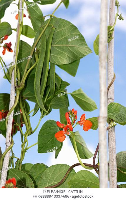 Bright scarlet red flowers and developing runner bean pods with dark green leaves on legume plants growing up bamboo canes