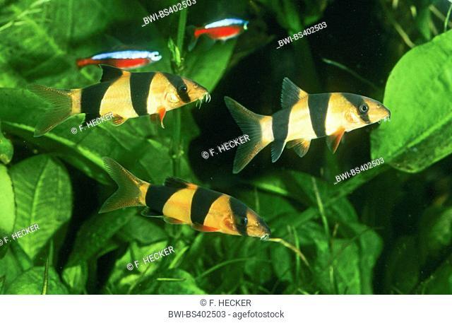 Clown loach, Tiger botia, Botia, Botia clown (Botia macracanthus, Botia macracantha), three Clown loaches with Green Tetras