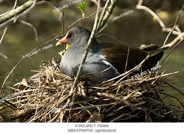 The Common Moorhen (Gallinula chloropus), also known as the Moorhen while breeding