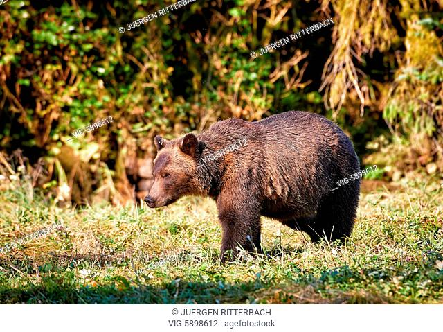 Grizzly bear, Ursus arctos horribilis, Great Bear Rainforest, Knight Inlet, Johnstone Strait, Broughton Archipelago, British Columbia, Canada - Knight Inlet