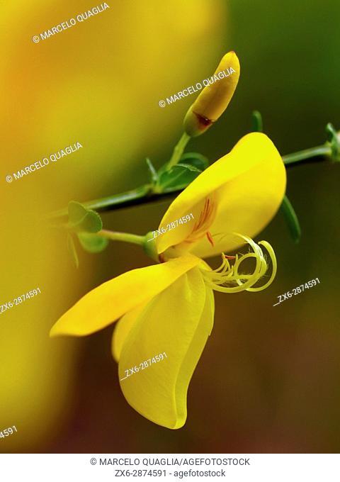 Broom flowers (Cytisus scoparius). Montseny Natural Park. Barcelona province, Catalonia, Spain