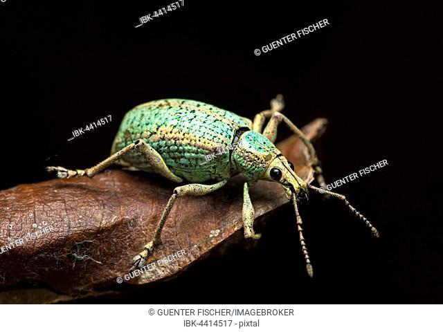 Neotropical weevil (Curculionidae), Choco Rainforest, Canande River Nature Reserve, Ecuador