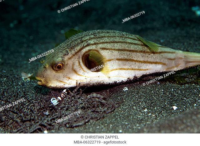 narrow-lined pufferfish Arothron manilensis groomed by squat shrimp Thor amboinensis, Secret Bay, Bali, Indonesia, Asia