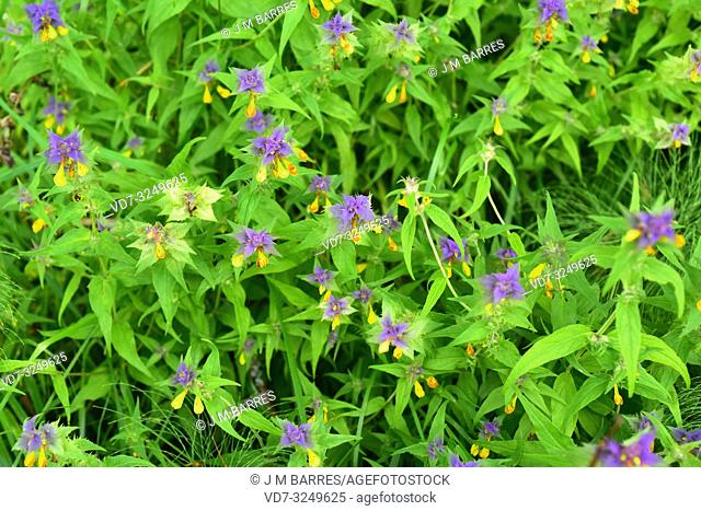Cow-wheat (Melampyrum nemorosum) is an annual herb native to central Europe. This photo was taken in southern Sweden