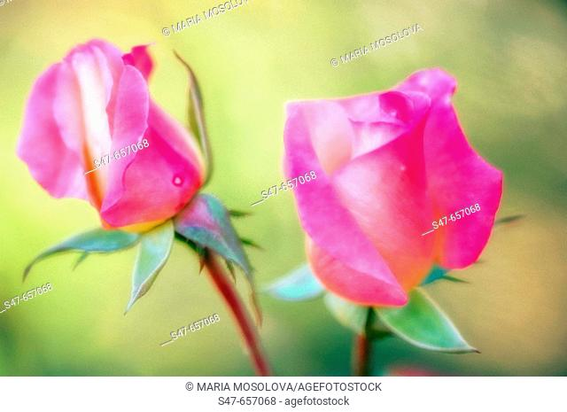 Two Pink Rose Buds. Rosa hybrid. October 2005 .Maryland, USA