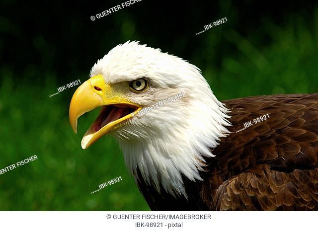 Bald eagle American eagle Haliaeetus leucocephalus national bird USA