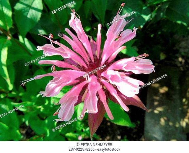 Wilde Bergamotte - Monarda fistulosa