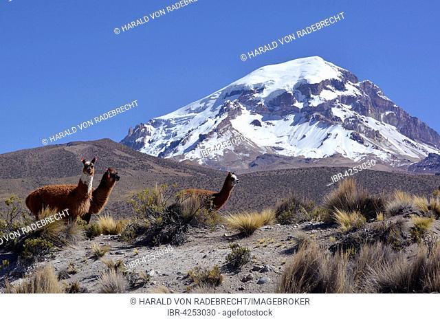 Llamas (Lama glama) in front of Sajama Volcano, Sajama National Park, Oruro, border between Bolivia and Chile